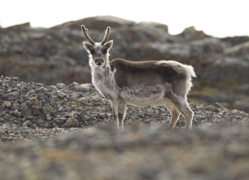 Svalbard Reindeer, Akseløya, July 2012