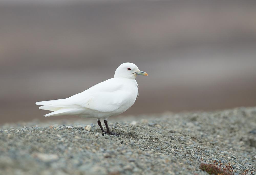 Ivory Gull, Ny Ålesund, July 2012