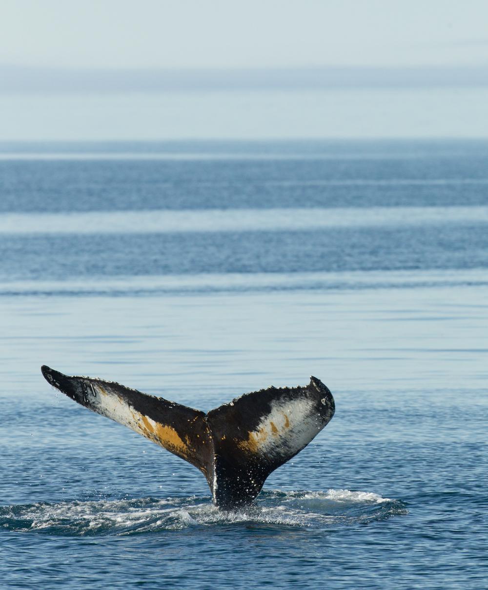 Humpback Whale, Hinlopen Stretet, July 2012