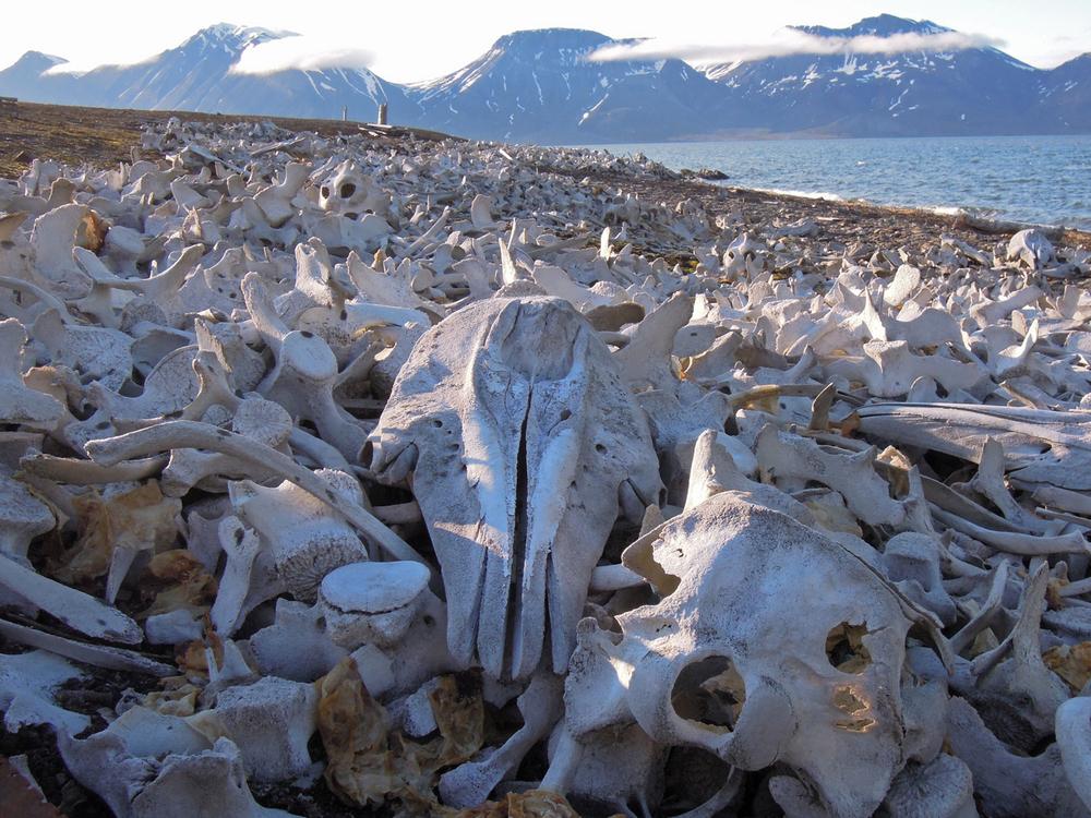 Beluga bones, Bellsund, July 2012