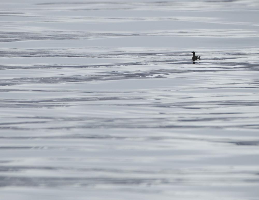 Black Guillemot, Isfjorden, July 2012