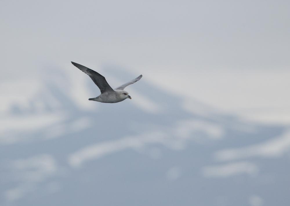 'Blue' Fulmar, Isfjorden, July 2012