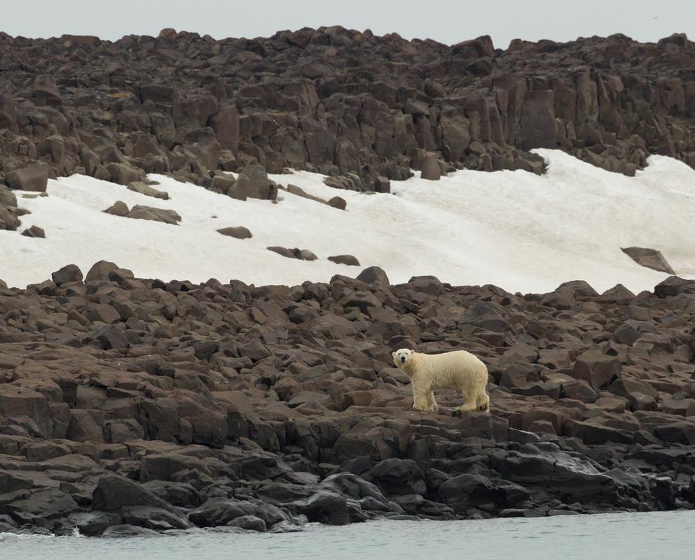 Polar Bear, Barentsøya, July 2012