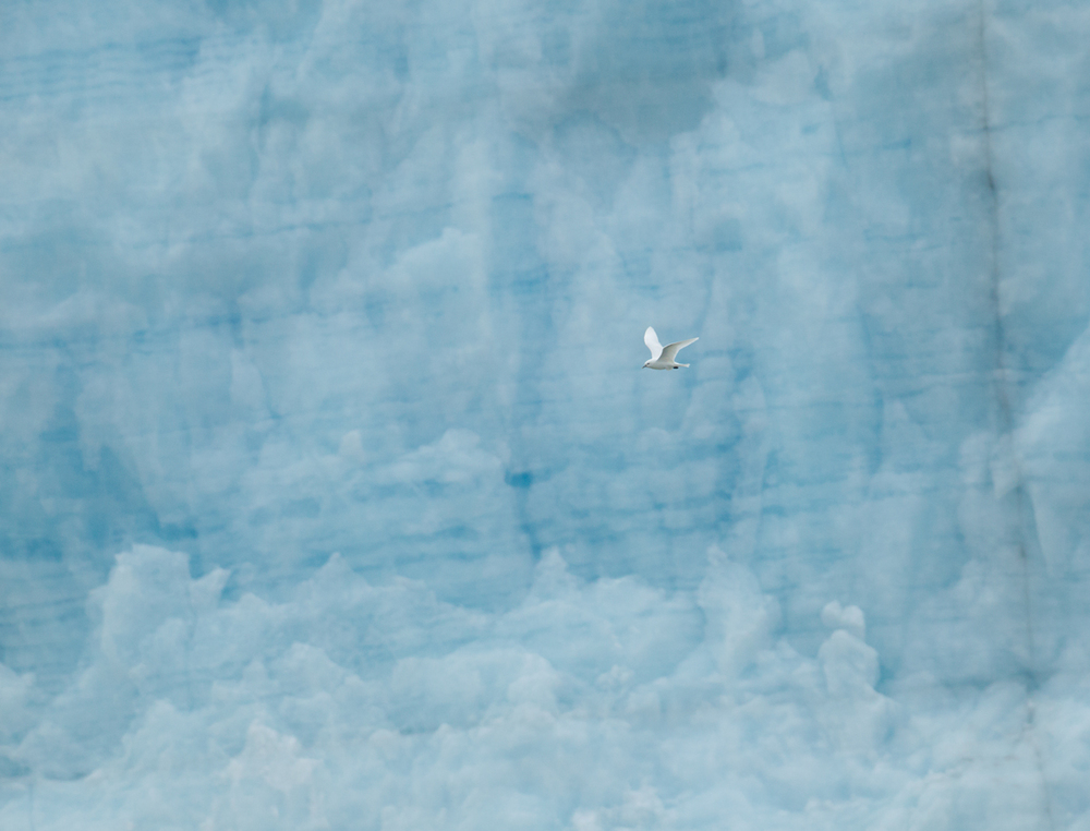 Ivory Gull, Negribreen, July 2012