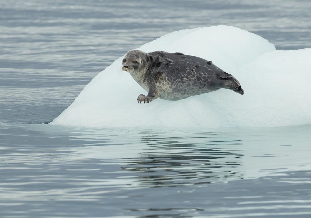 Ringed Seal, Heyleysundet, July 2012
