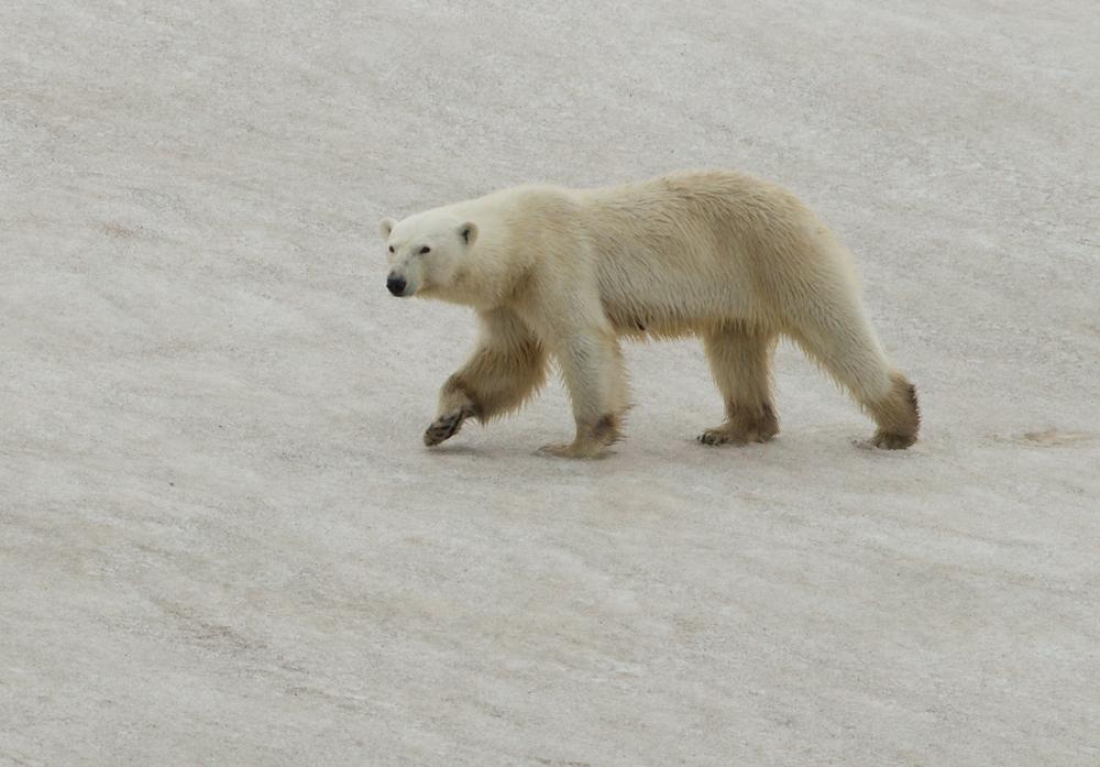 Polar Bear, Heleysundet, July 2012