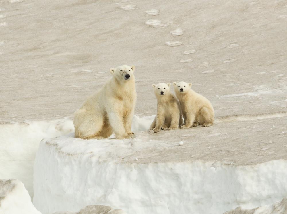 Polar Bear, Heyleysundet, July 2012
