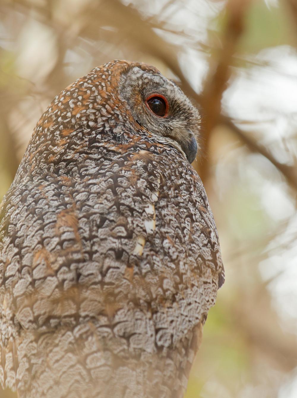 Mottled Wood Owl, Gujarat, Feb 2011