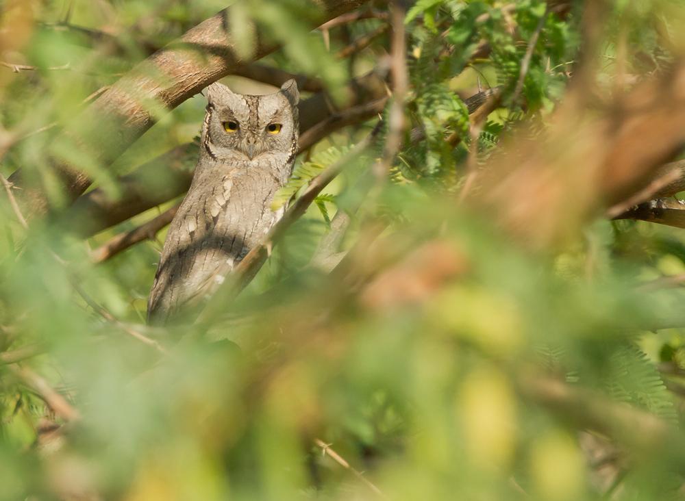 Pallid Scops Owl, Little Rann of Kutch, Feb 2013