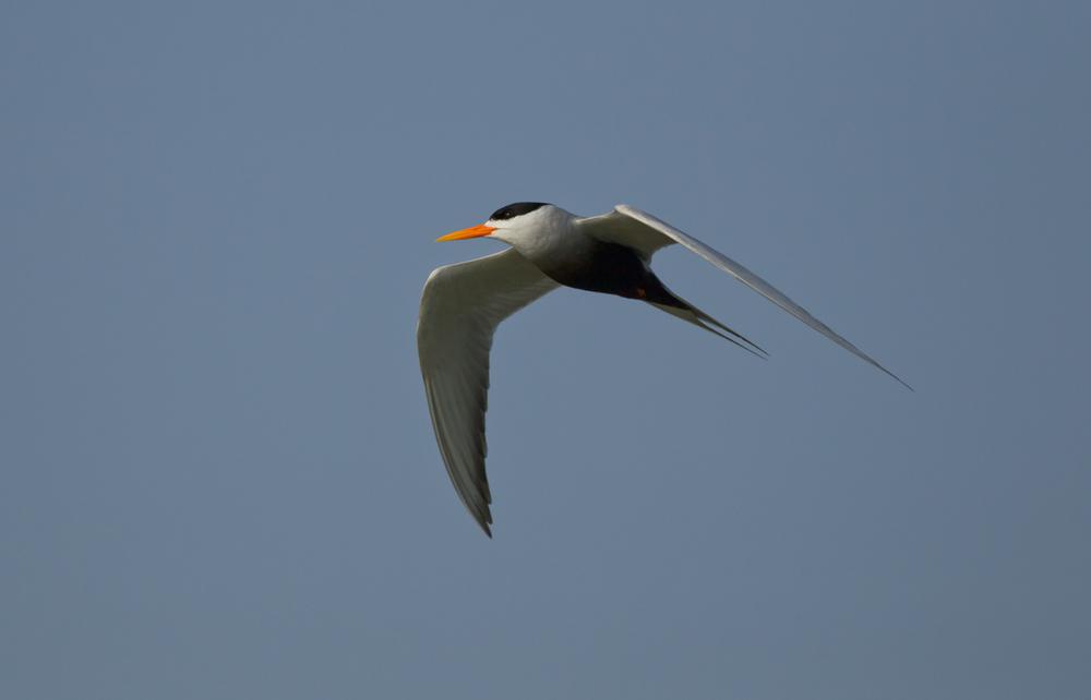 Black-bellied Tern, Chambal River, Feb 2013