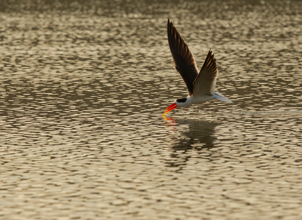 Indian Skimmer, Chambal River, Feb 2013