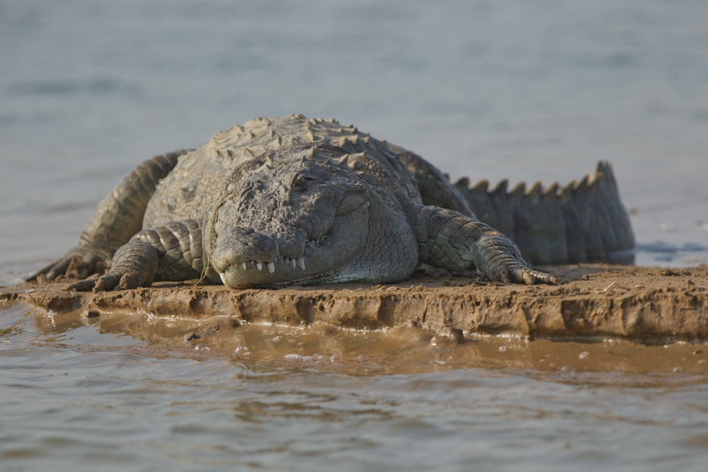 Marsh Mugger, Chambal River, Feb 2013