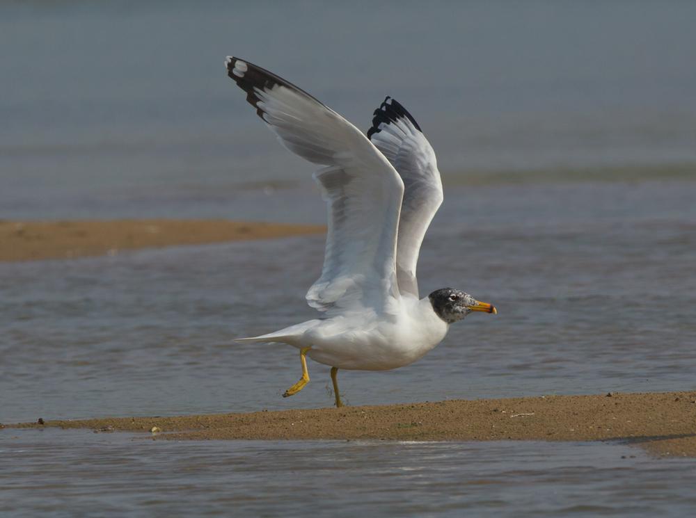 Pallas's Gull, Chambal River, Feb 2013