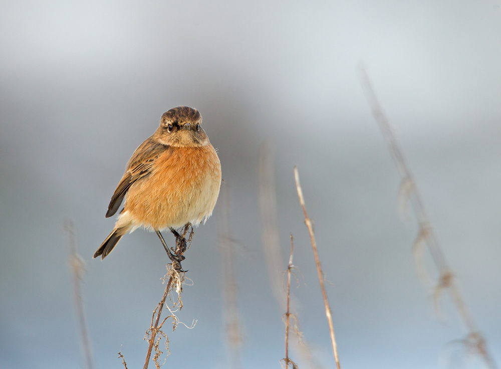 Common Stonechat, Altham Jan 2013