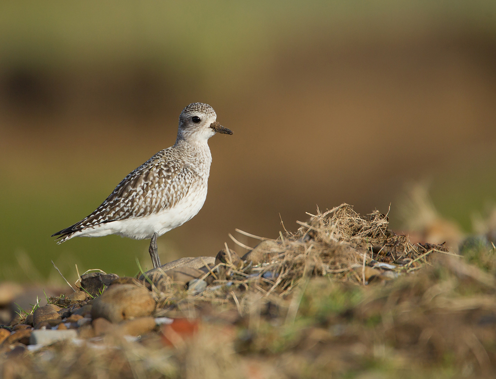 Grey Plover, Altham, Jan 2013