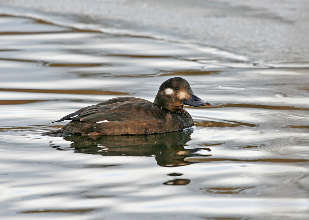 Velvet Scoter, Barrow Lower Lodge Jan 2010