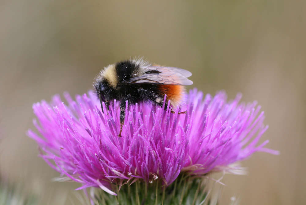 Bilberry Bumblebee, Cross of Greet Jun 2007