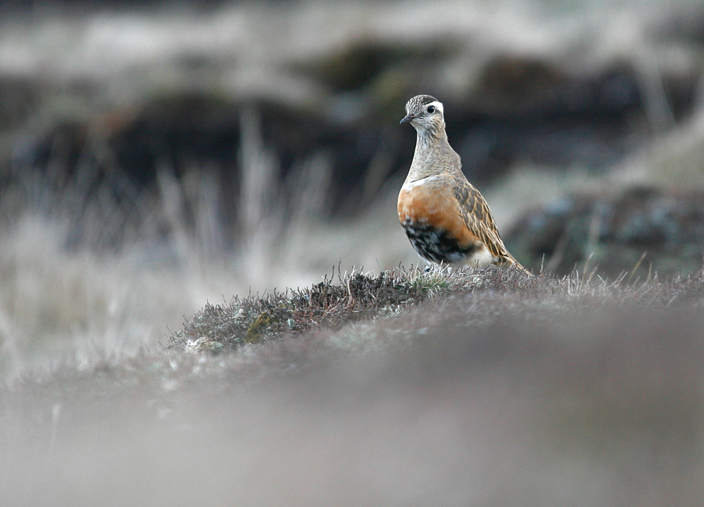 Eurasian Dotterel, Pendle Hill Apr 2010