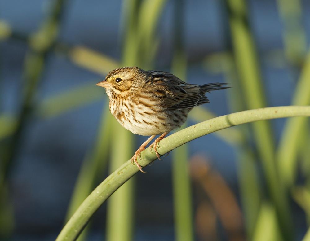 Savannah Sparrow, Titusville FL Jan 2012