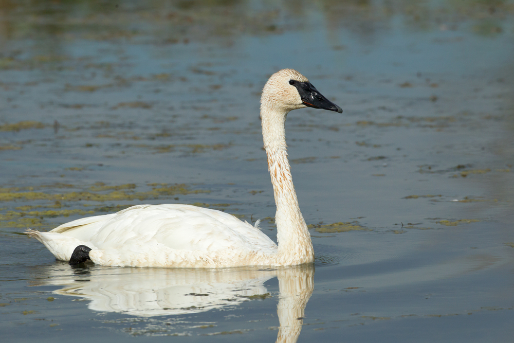 Trumpeter Swan, Magee Marsh OH Sep 2013