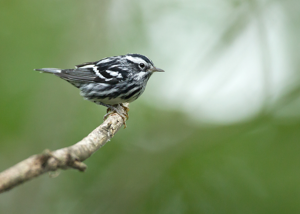 Black-and-White Warbler, Magee Marsh OH Sep 2013