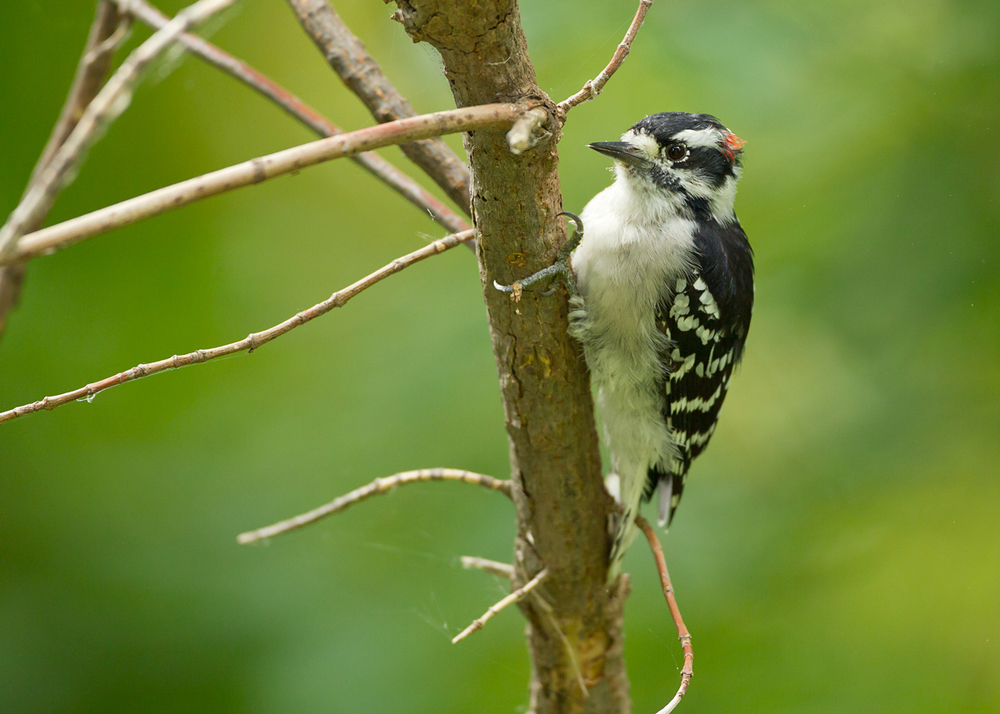 Downy Woodpecker, Magee Marsh OH Sep 2013