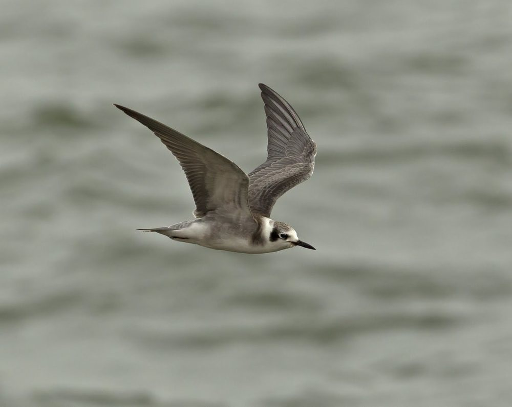 American Black Tern, Covenham Reservoir, Lincs