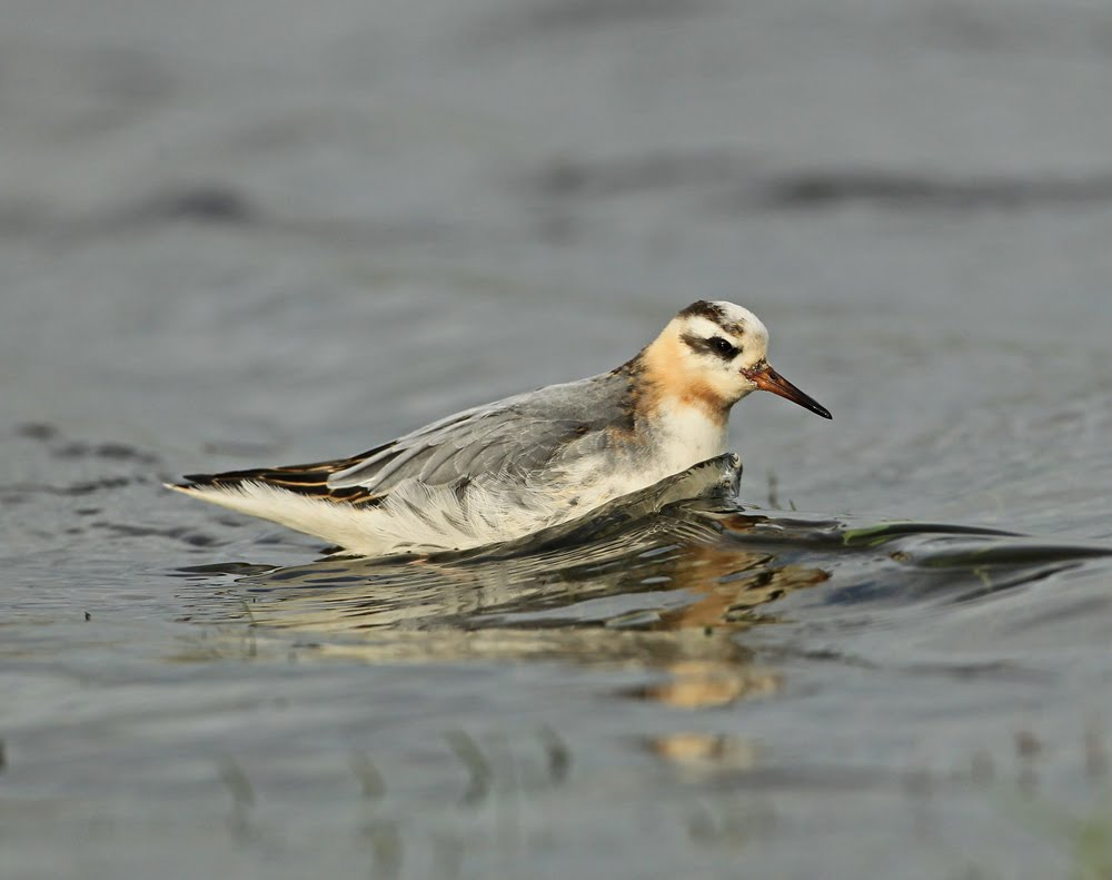 Red Phalarope, Skipton, North Yorkshire