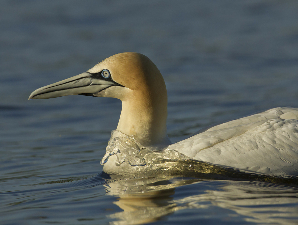 Northern Gannet, Lower Foulridge Reservoir, East Lancashire
