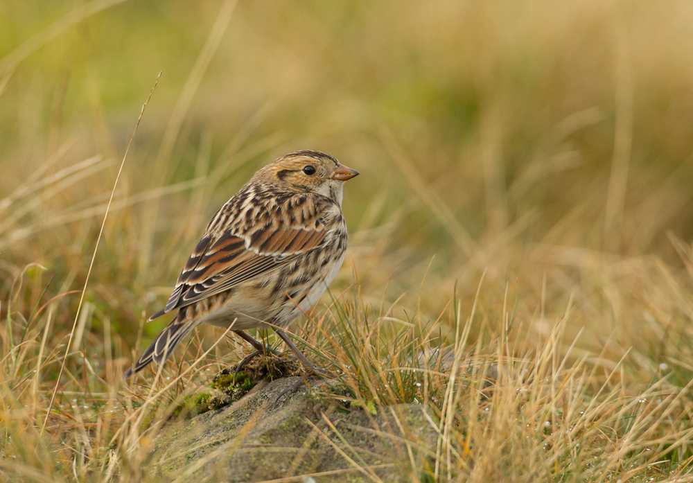 Lapland Bunting, Pendle Hill, October 2012