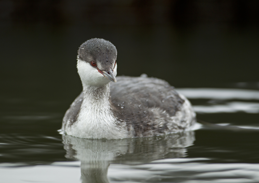 Horned Grebe, Fairhaven Lake