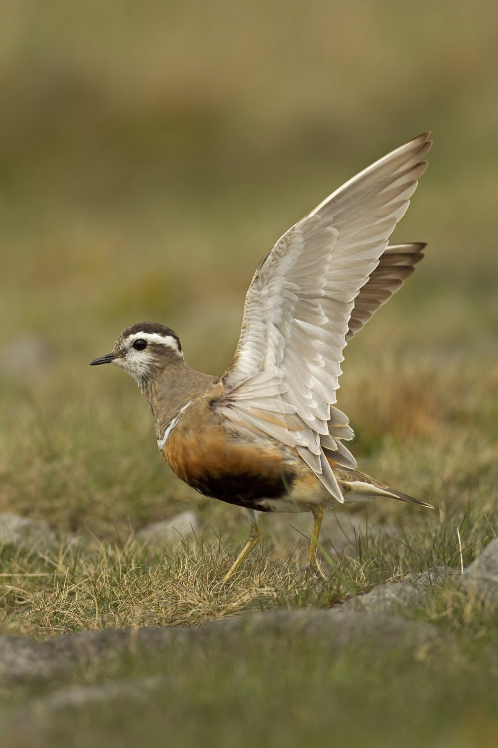 Eurasian Dotterel, Pendle Hill May 2011