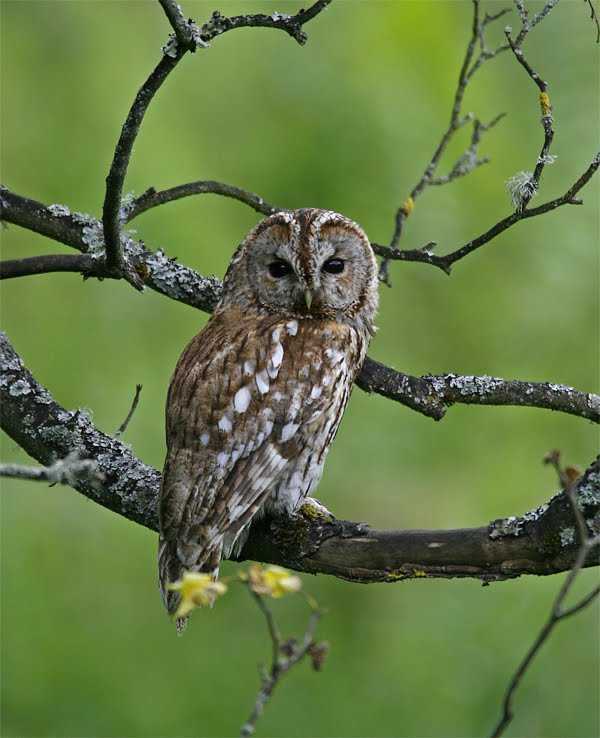 Tawny Owl, Bowland