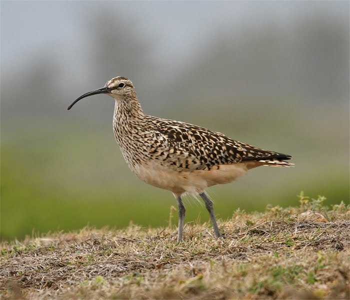 Bristle-thighed Curlew, James Campbell NWR HA Apr 2010