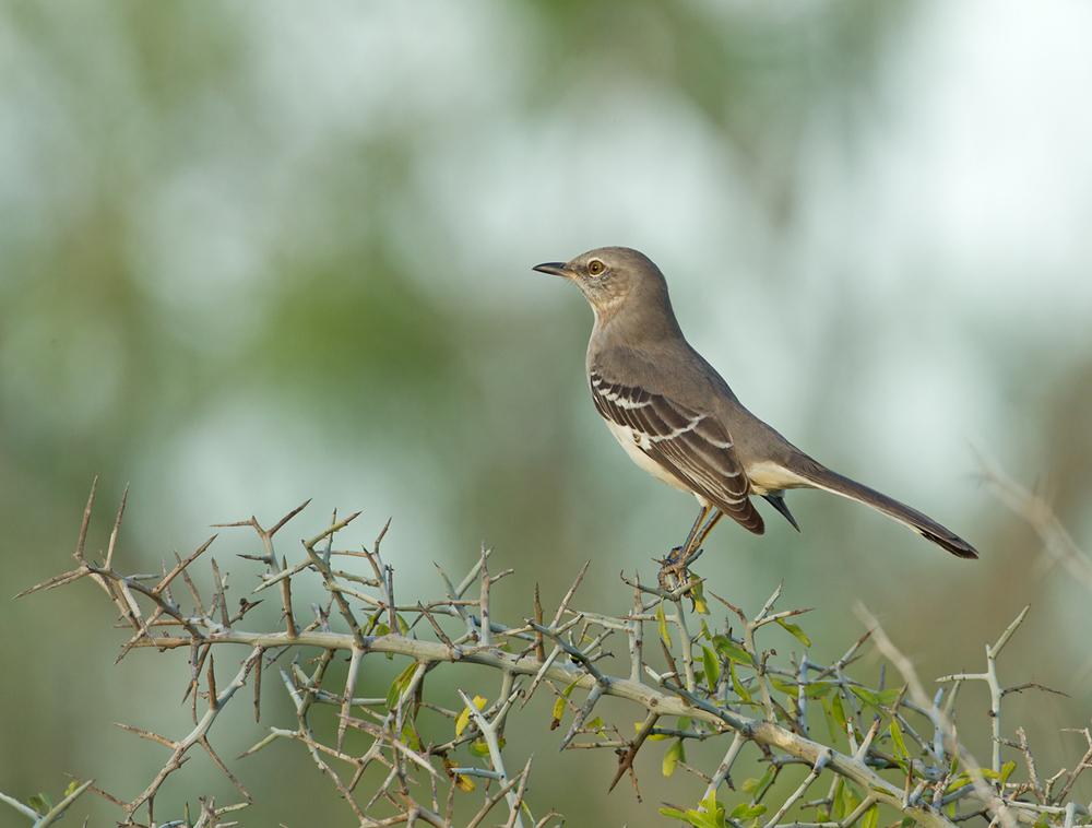 Northern Mockingbird, Laguna Atascosa TX Nov 2012