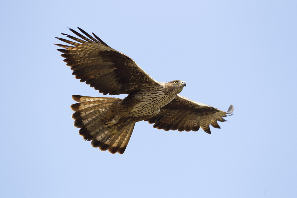 Bonelli's Eagle, Dhofar Mountains Nov 2011