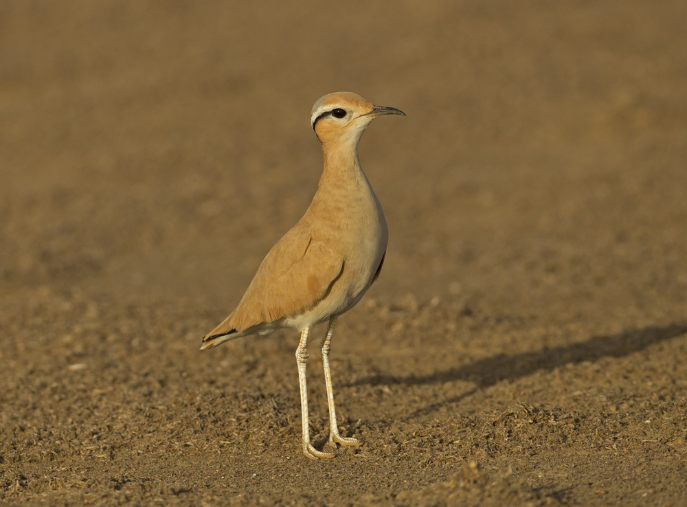 Cream-coloured Courser, Sohar Oct 2011