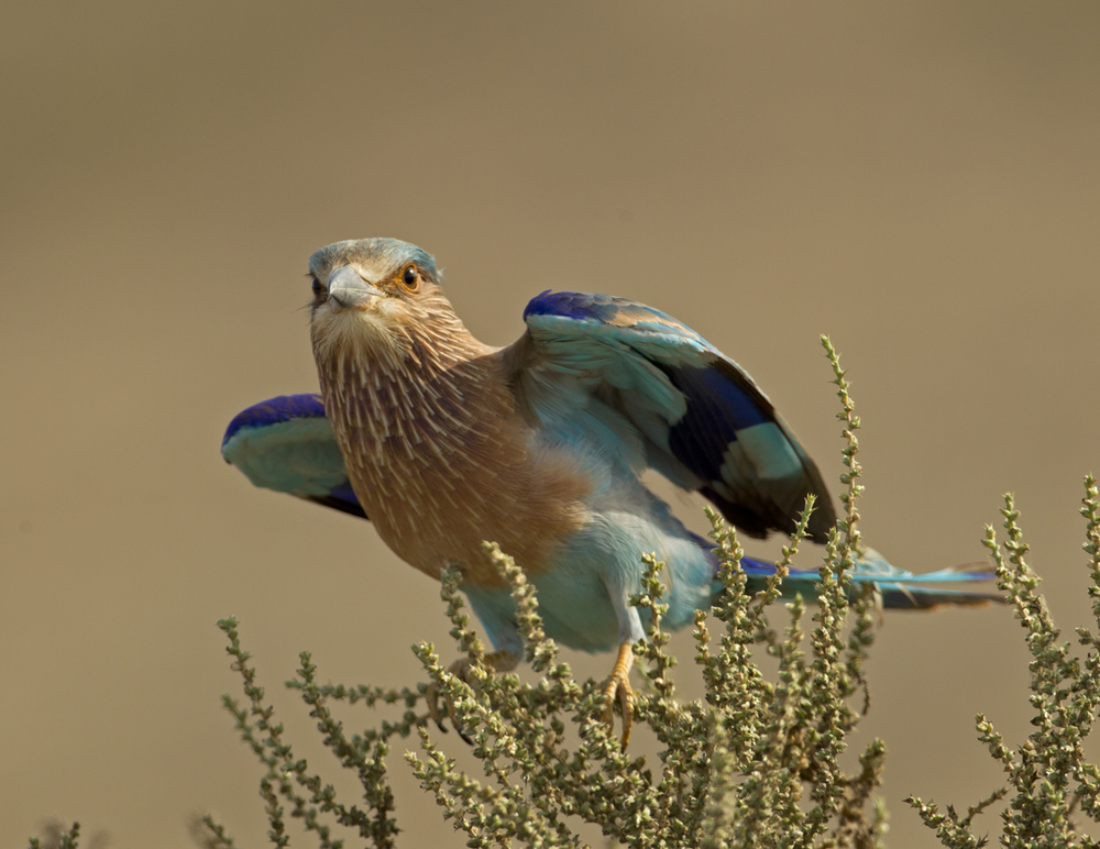 Indian Roller, Sohar Oct 2011
