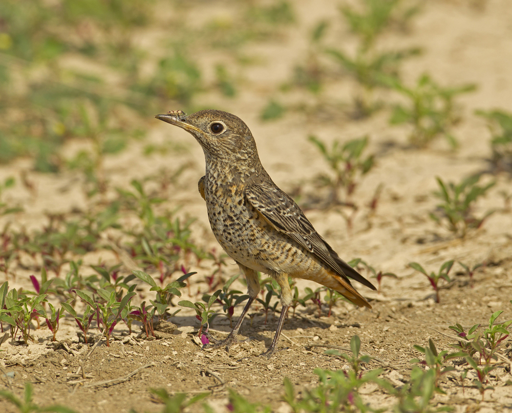 Rufous-tailed Rock Thrush, Sohar Oct 2011