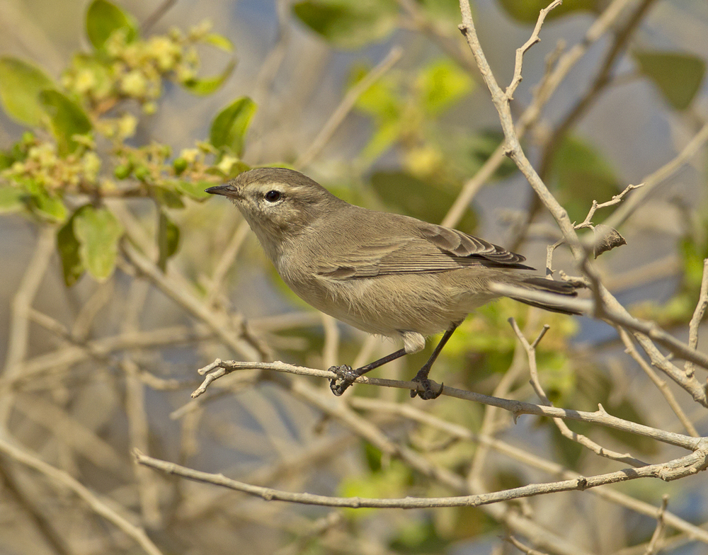 Plain Leaf Warbler, Ras as Sawadi Oct 2011