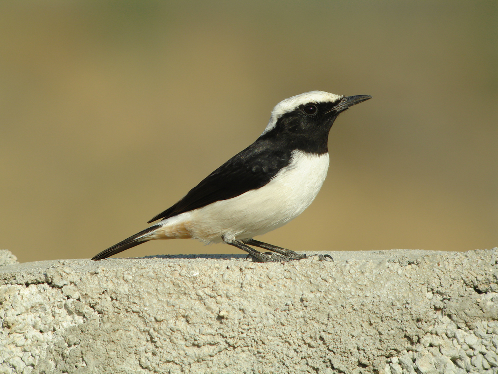 Arabian Wheatear, Dhofar Mountains Nov 2006