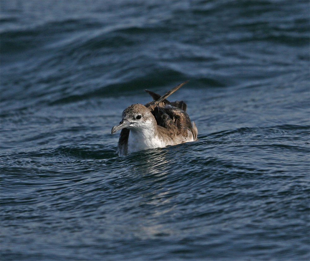 Persian Shearwater, at sea off Mirbat Nov 2009