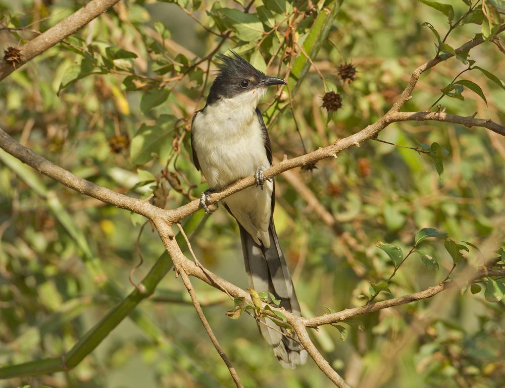 Pied Cuckoo, Ayn Tobroq Nov 2011