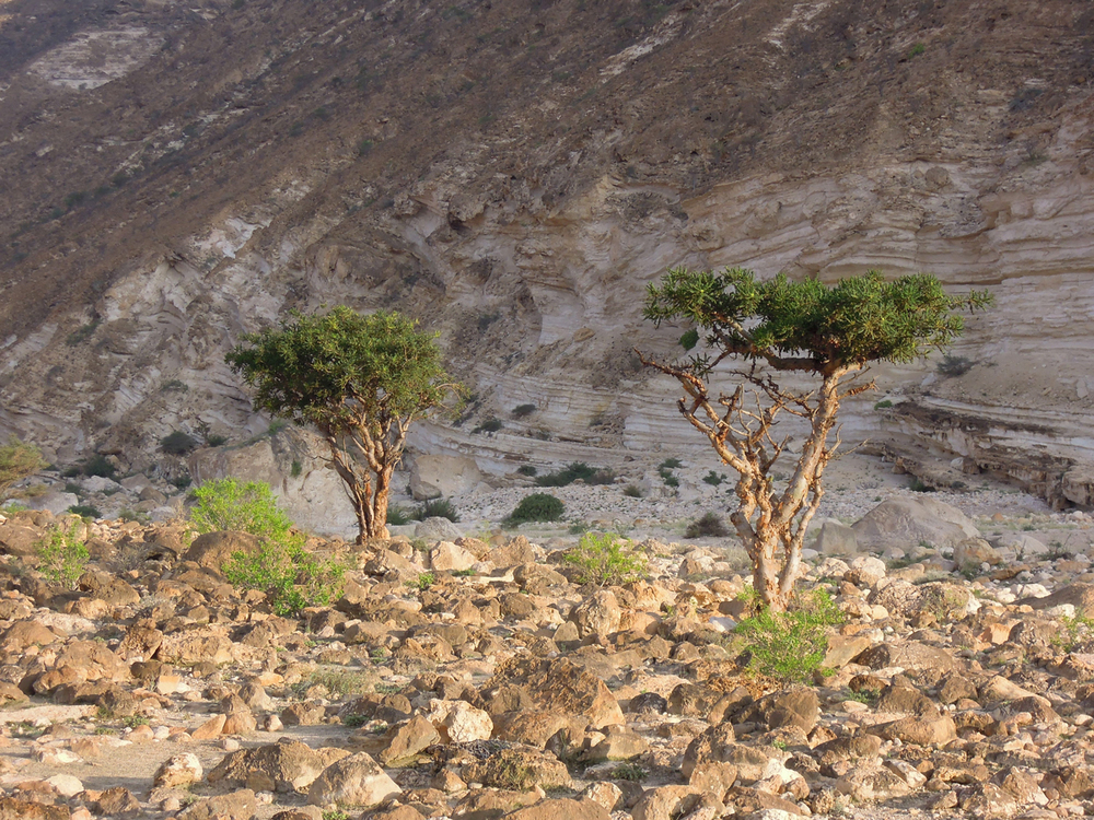 Frankincense Trees, Dhofar Mountains Nov 2009
