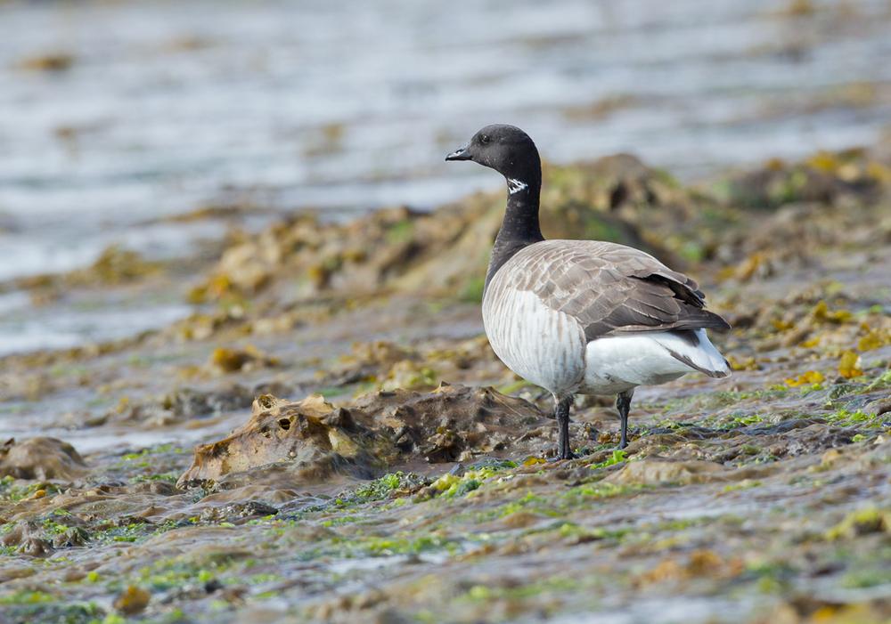 Pale-bellied Brent Goose, Flatey June 2013