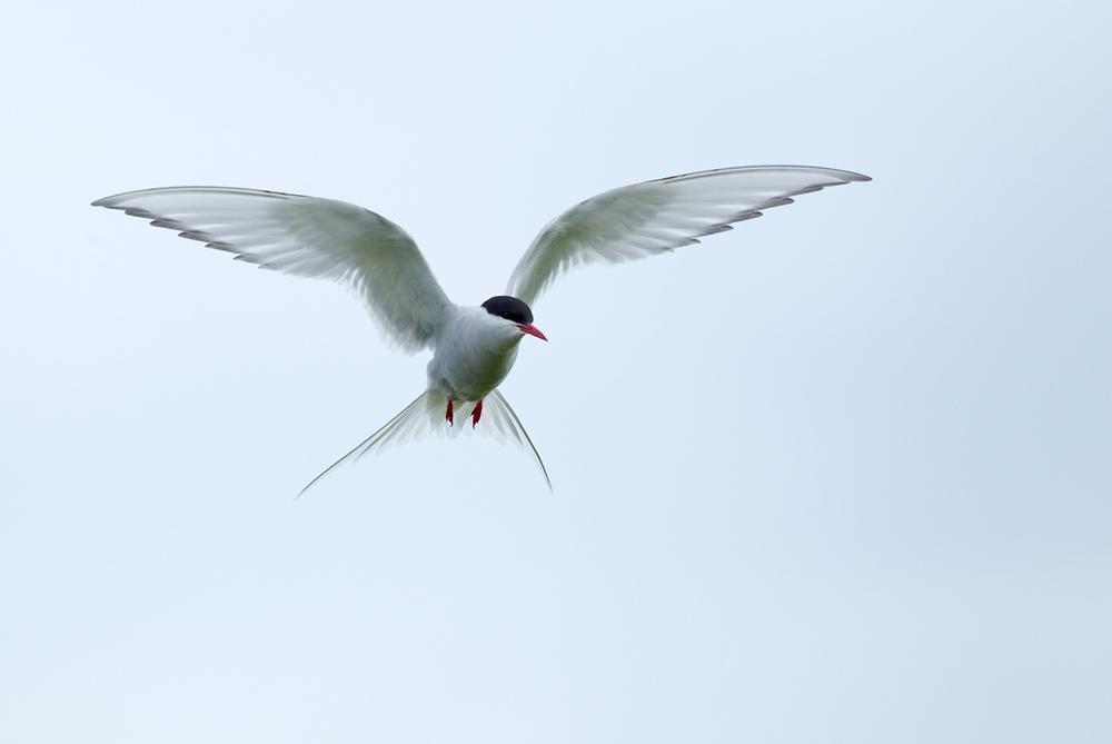 Arctic Tern, Flatey June 2013