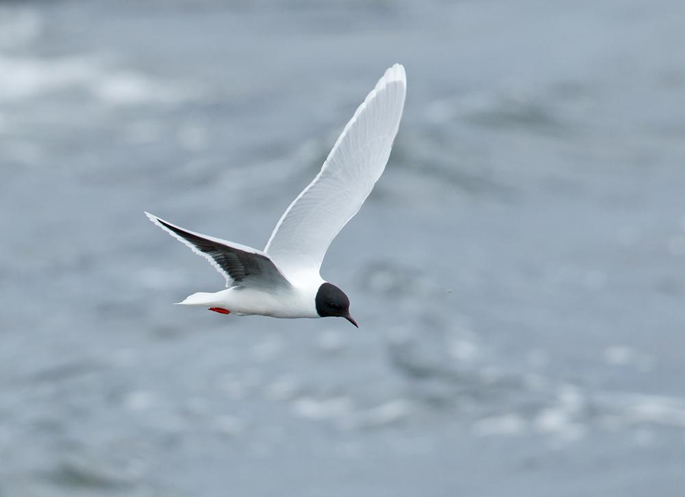 Little Gull, Lake Myvatn June 2013