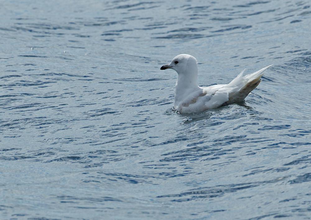 Iceland Gull, Húsavík June 2013