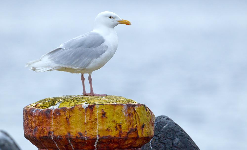Glaucous Gull, Olafsvík June 2013