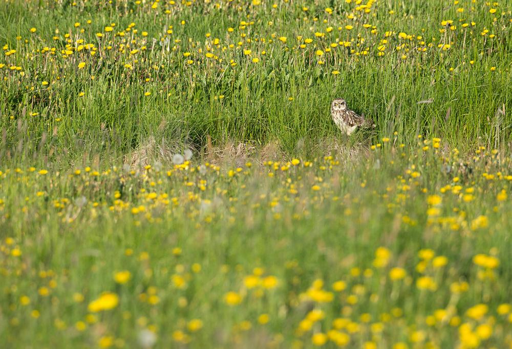 Short-eared Owl, Akureyri June 2013